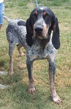 Drew is an adoptable Bluetick Coonhound searching for a forever family near Seguin, TX. Use Petfinder to find adoptable pets in your area.
