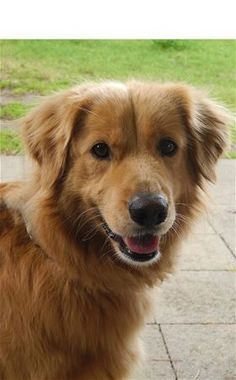 This is Dallas - 4 yrs. He was an owner surrender due to lack of time. He is neutered, current on vaccinations, potty trained, good with dogs. Not cat/kid tested. He prefers a quiet home with someone who is home most of the time. Golden Retriever Club of Greater Los Angeles Rescue, CA. - http://www.grcglarescue.org/RP_AdoptMe.asp?aid=2111 // photo link not working. Select/copy/paste link into browser to view info