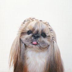 pekingese-dog-hairstyles-kuma-5