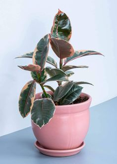 Rubber Plant, Rubber Tree, Sunshine In A Bag, Ficus Elastica, Indoor Plant Pots, Perfect Plants, Snake Plant, New Green, Plant Needs