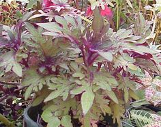 "Coleus ""definitely different"" read how it easy ot is to grow beautifule coleus plants: https://www.houseplant411.com/houseplant/coleus-how-to-grow-care-tips"