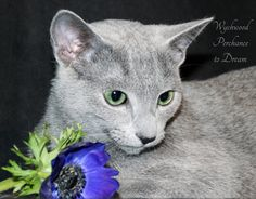 Russian Blue cats are gentle and soft by nature, and Dreamy proves it with his love of flowers and cuddles.