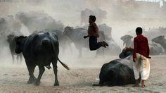 Maandag 13 oktober 2014: Pakistaanse kinderen spelen met buffels in een buitenwijk van de stad Lahore.