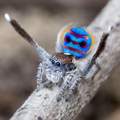 Peacock Jumping Spider (Australia)