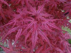 Acer palmatum 'Celebration'