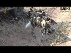 Safari Sightings from Africa JOIN US on Safari Sightings and share your Wildlife Sightings from your African Safari. Think 'Africa' and one of the first Wild Dogs, African Safari, The Dreamers, Traveling By Yourself, Pup, Wildlife, Photos, Animals, Image