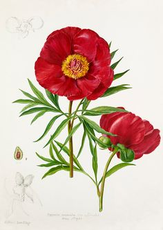 Lilian Snelling -- Paeonia anomala var. intermedia -- Peony -- View By Flower -- RHS Prints