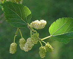 Η ΛΙΣΤΑ ΜΟΥ: Σακχαρώδης διαβήτης. Το φάρμακο που μεγαλώνει στην αυλή μας Mulberry Tree, Simple Minds, Tree Seeds, Natural Lifestyle, Deciduous Trees, Winter Trees, Red Poppies, Worms, Fruit