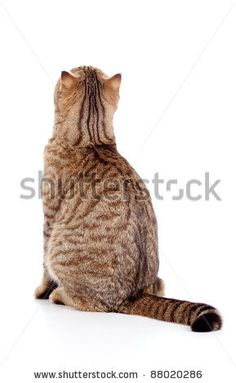 cat sitting from back  google search  images for