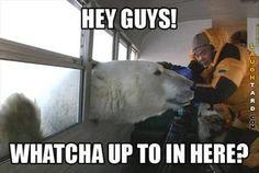 Polar bear says hi  #funny #haha #lol #laughtard #funnypics #polarbear #bears #funnybears