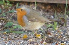 Roberto le rouge gorge se promène dans son jardin
