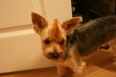 mohawk haircut-Oh my goodness! I would get a yorkie if Nicholas would let me do this!