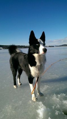 #Karelian #Bear #Dog - a rare dog breed from Finland. Hunts big game, including bear.  Click here to read more about this breed - http://www.fordogtrainers.com/index.php?main_page=page&id=586