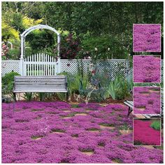 Creeping Thyme 'purple rain' | Vigorous and Hardy ground cover |  Sweet scented flowers | Stunning colour | Grows in most regions of Australia | Full Sun to part shade | Available as seeds from The Climbing Fig Online Garden Store