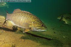 Smallmouth Bass | Smallmouth Bass, Micropterus dolomi, underwater