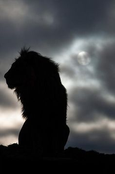 Twitter, The silhouette of a lion as he awaits the morning's wakeup call. pic.twitter.com/XOxey3UqVw