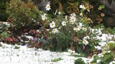 The first snow surprised blooming flowers. Unto Kemppinen