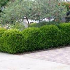 True Dwarf English Boxwood Buxus Live Plant Trade | Etsy Boxwood Landscaping, Privacy Landscaping, Front Yard Landscaping, Landscaping Ideas, Backyard Patio, Contemporary Landscape, Landscape Design, Garden Design, Traditional Landscape