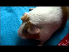 VIDEO: Exercise Balls for Guinea Pigs - are they a good idea?