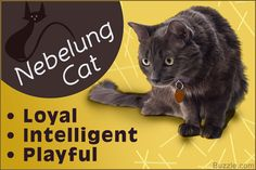 Unique Facts About the Shy and Gentle Nebelung Cat Russian Cat, Russian Blue, Nebelung Cat, Cat Shots, Cat Nutrition, Cat Whisperer, F2 Savannah Cat, Cute Little Animals, Beautiful Cats