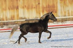 Stunning Russian Orlov Trotter stallion in Silver Black