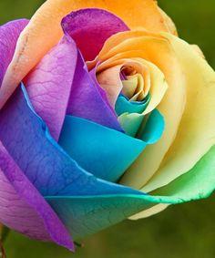 Colourful rose