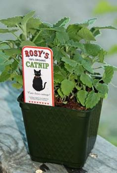 Labels: Catnip plants #catnip - Find out more about Cat nip at Catsincare.com!