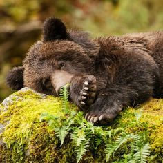 """The real Trapping and hunting of bears and animals for """"sport"""". Photo by for // Large Animals, Animals And Pets, Baby Animals, Cute Animals, Cute Bear, Big Bear, Wildlife Photography, Animal Photography, Beautiful Creatures"""