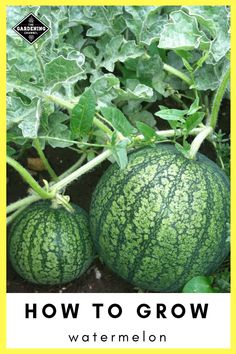 Growing Watermelon, Cultivation: Are you planning to grow watermelon? Well, you have reached right place to find out information about Growing Watermelon. Types Of Watermelon, Watermelon Varieties, Watermelon Vines, Watermelon Plant, How To Grow Watermelon, Growing Melons, Growing Vegetables, Types Of Pumpkins, National Watermelon Day