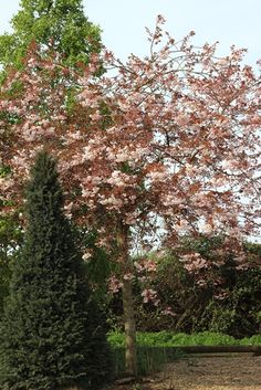 Prunus shirofugen, what a beaut!! #flowers #trees #beautiful #pink #white