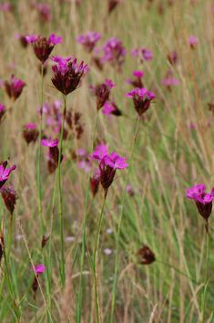 Dianthus carthusianorum. Sunny spot, dry well drained soul. long flowering from jun-sep