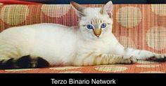 BINASCO (MI): SMARRITO LEANDRO, GATTO COLOR CHAMPAGNE http://www.terzobinarionetwork.com/2016/10/binasco-mi-smarrito-leandro-gatto-color.html
