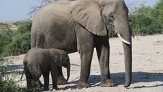 Baby Elephants Being Sent from Zimbabwe to Zoos in China - The 37 baby elephants were forcibly taken from their mothers in Hwange National Park despite an international outcry against the exports. http://traveller24.news24.com/Explore/Green/shockwildlifetruths-zim-baby-elephants-heading-for-chinese-zoo-20161107