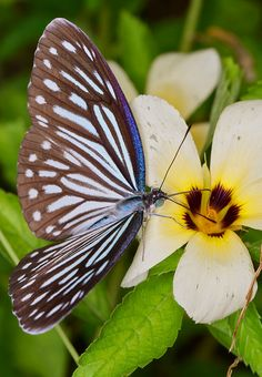 The Blue Glassy Tiger (Ideopsis vulgaris). The sun-loving adults are slow and undulating in flight, and prefers open but sheltered environments. Float Like A Butterfly, Butterfly Kisses, Butterfly Flowers, Beautiful Bugs, Beautiful Butterflies, Beautiful Flowers, Dragonfly Insect, Butterfly Species, Flying Flowers