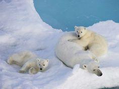 Osos polares resentirán calentamiento global para 2025 :: El Informador