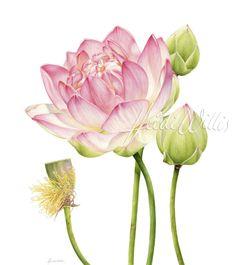 Lotus (Heidi Willis watercolor) Lotus Botanical