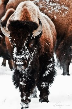 Bison use their heads like big, furry snowplows to push snow out of the way so they can get to buried grass. Photo by Tom Dingman.