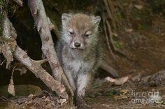 Cachorro Wolf Pictures, Animal Pictures, Big Wolf, Rare Animals, Strange Animals, Wolf Life, Arctic Wolf, Wolf Stuff, Wolf Pup