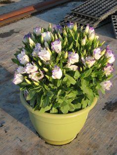 Эустома — выращивание королевы букетов.  Как комнатное растение эустома только начинает набирать популярность, встречается достаточно редко. Да и в таком качестве можно культивировать только эустому с минимальной высотой, карликовые сорта.