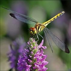 Dragonfly by sweet. Dragonfly Images, Dragonfly Insect, Dragonfly Wings, Dragon Fly Craft, Gossamer Wings, Chenille, Some Image, Beautiful Butterflies, Beautiful Creatures