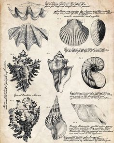 Ideas for bath room vintage printables botanical prints Foto Transfer, Shell Collection, Botanical Illustration, Victorian Illustration, Beach Themes, Botanical Prints, Vintage Prints, Antique Prints, Sea Shells