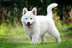 witte herder pups - Google zoeken