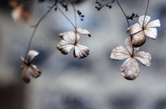 Twilight Set of 4 hydrangea prints. Buy beautiful and unique wall art. Prints and canvasses professionally produced from images of nature, architecture and anything beautiful which catches my eye.  Hydrangea, flower, faded grandeur, brown, set 4 prints, photo art wall decor. Straw House Art on Etsy