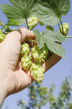 With enough space, you can grow your own hops and put an extra personalized spin on your homebrewed beer. The following article provides information about how and when to harvest hops. Click here to learn more.