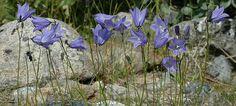 blåklokke Plants, Plant, Planets