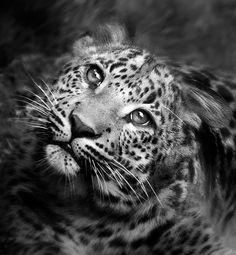 Leopard in B & W