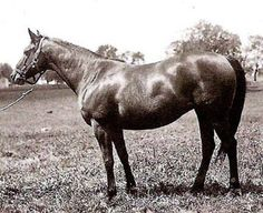 "Brushup, dam of War Admiral. ""Her  disposition is quiet and amiable. Her head is lovely, and almost Arabian outline, her neck of good length. She is broad-breasted, with shoulders possibly a trifle straight, quarters as round as an apple, there is little slant to her croup and her tail is set on rather high. ""From his shoulders back, War Admiral is almost a duplicate of his dam. He is a rich brown and presents his mother's smooth, shapely, and compact conformation, upon a slightly larger…"