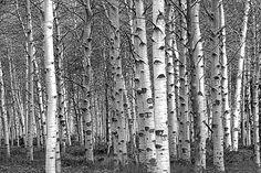 White Birch Tree Forest Grove No.0651 A Black and White Fine Art Landscape Photograph