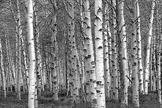 Birch Trees A Black and White Fine Art Wall by RandyNyhofPhotos, $35.00
