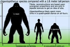 Gigantopithecus blacki, a huge extinct Asian giant ape known only from teeth and jawbones. Candidate for: Yowie, Yeti, Ye-rén. Prehistoric Wildlife, Prehistoric World, Prehistoric Creatures, Mythical Creatures, Megalodon, Extinct Animals, Animal Facts, Animal Species, Thing 1